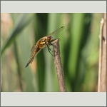 Bild 7 zum Bildarchiv Libellen