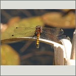 Bild 1 zum Bildarchiv Libellen