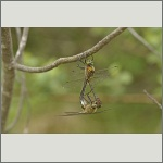 Bild 167 zum Bildarchiv Libellen