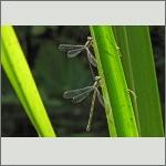 Bild 168 zum Bildarchiv Libellen
