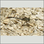 Bild 164 zum Bildarchiv Libellen