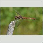 Bild 170 zum Bildarchiv Libellen
