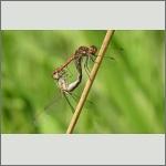 Bild 171 zum Bildarchiv Libellen