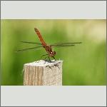 Bild 172 zum Bildarchiv Libellen