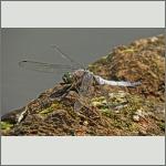 Bild 174 zum Bildarchiv Libellen