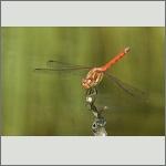 Bild 175 zum Bildarchiv Libellen