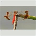 Bild 177 zum Bildarchiv Libellen