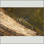 Bild 173 zum Bildarchiv Libellen