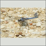 Bild 176 zum Bildarchiv Libellen