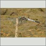 Bild 183 zum Bildarchiv Libellen