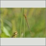 Bild 184 zum Bildarchiv Libellen