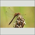 Bild 185 zum Bildarchiv Libellen