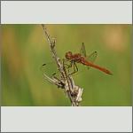 Bild 182 zum Bildarchiv Libellen