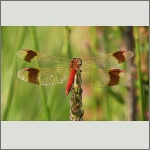 Bild 188 zum Bildarchiv Libellen