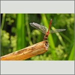 Bild 189 zum Bildarchiv Libellen