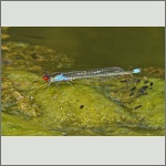 Bild 192 zum Bildarchiv Libellen
