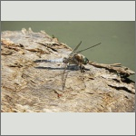 Bild 194 zum Bildarchiv Libellen