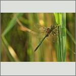 Bild 190 zum Bildarchiv Libellen