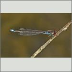 Bild 197 zum Bildarchiv Libellen