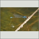Bild 193 zum Bildarchiv Libellen