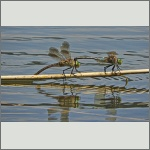 Bild 199 zum Bildarchiv Libellen