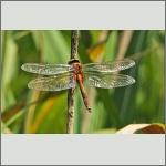 Bild 195 zum Bildarchiv Libellen