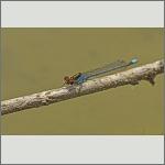 Bild 201 zum Bildarchiv Libellen