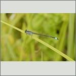 Bild 202 zum Bildarchiv Libellen