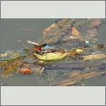 Bild 205 zum Bildarchiv Libellen