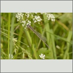 Bild 206 zum Bildarchiv Libellen