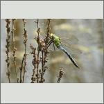 Bild 203 zum Bildarchiv Libellen