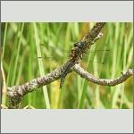 Bild 211 zum Bildarchiv Libellen