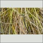 Bild 212 zum Bildarchiv Libellen