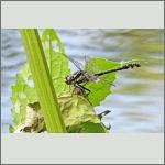 Bild 213 zum Bildarchiv Libellen