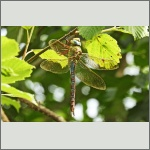 Bild 214 zum Bildarchiv Libellen
