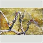 Bild 215 zum Bildarchiv Libellen