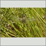 Bild 216 zum Bildarchiv Libellen