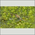 Bild 217 zum Bildarchiv Libellen