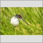 Bild 218 zum Bildarchiv Libellen