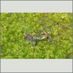 Bild 219 zum Bildarchiv Libellen