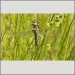 Bild 220 zum Bildarchiv Libellen