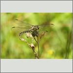 Bild 221 zum Bildarchiv Libellen
