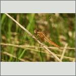Bild 224 zum Bildarchiv Libellen