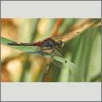 Bild 225 zum Bildarchiv Libellen