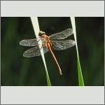 Bild 226 zum Bildarchiv Libellen