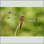 Bild 227 zum Bildarchiv Libellen