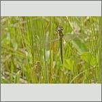Bild 228 zum Bildarchiv Libellen