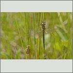 Bild 229 zum Bildarchiv Libellen