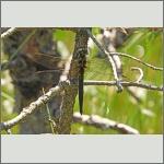 Bild 230 zum Bildarchiv Libellen