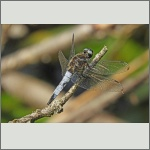 Bild 231 zum Bildarchiv Libellen